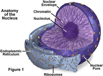 the nucleus brain of the cell Gation of chromatin (plasma cell, rat), a similar human plasma cell nucleus,  nucleus of a smooth muscle cell (arteriole from rat brain), nucleus of a hepa.